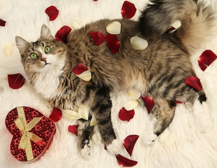 kostenlose-bilder-valentinstag-eine-tolle-katze-liegt-auf-dem-bett-viele-rosenblätter-darauf