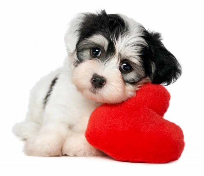 unikale-valentinstag-bilder-wunderschöner-kleiner-hund