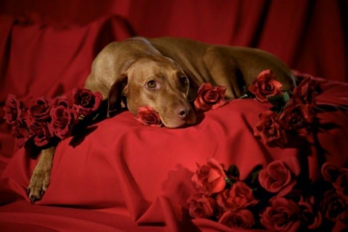 valentinstag-bilder-ein-hund-auf-rote-farbe