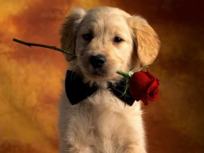 valentinstag-bilder-süßer-hund-mit-einer-rose-im-mund