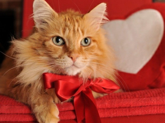 valentinstag-bilder-sehr-schöne-katze-ein-weißes-herz-dahinter