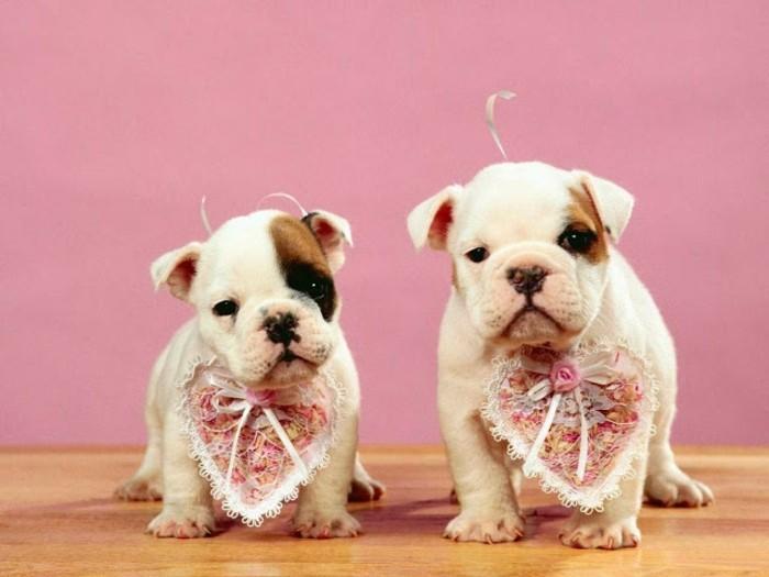 valentinstag-bilder-super-süße-hunde-rosiger-hintergrund