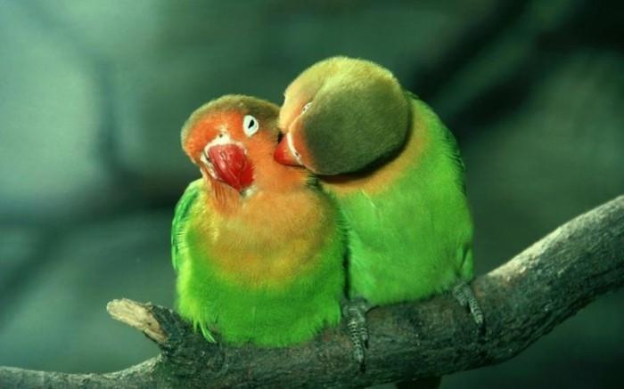 valentinstag-bilder-zwei-papageien-in-grüner-farbe