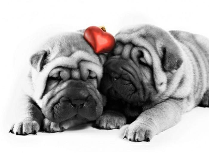Valentinstag Bilder Zwei Schöne Graue Hunde