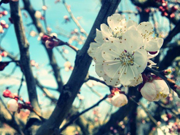 7-weiße-Blüten-Symbol-des-Frühlings