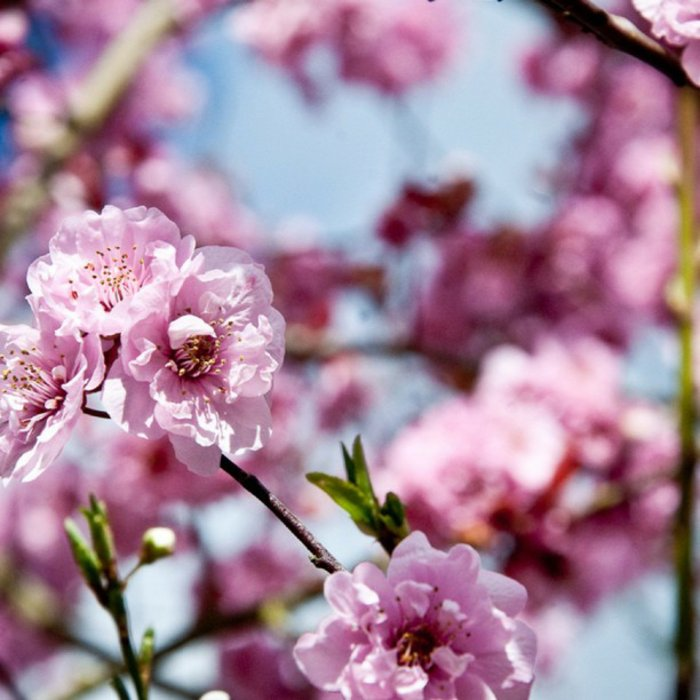 8-rosa-Blüten-Symbol-des-Frühlings