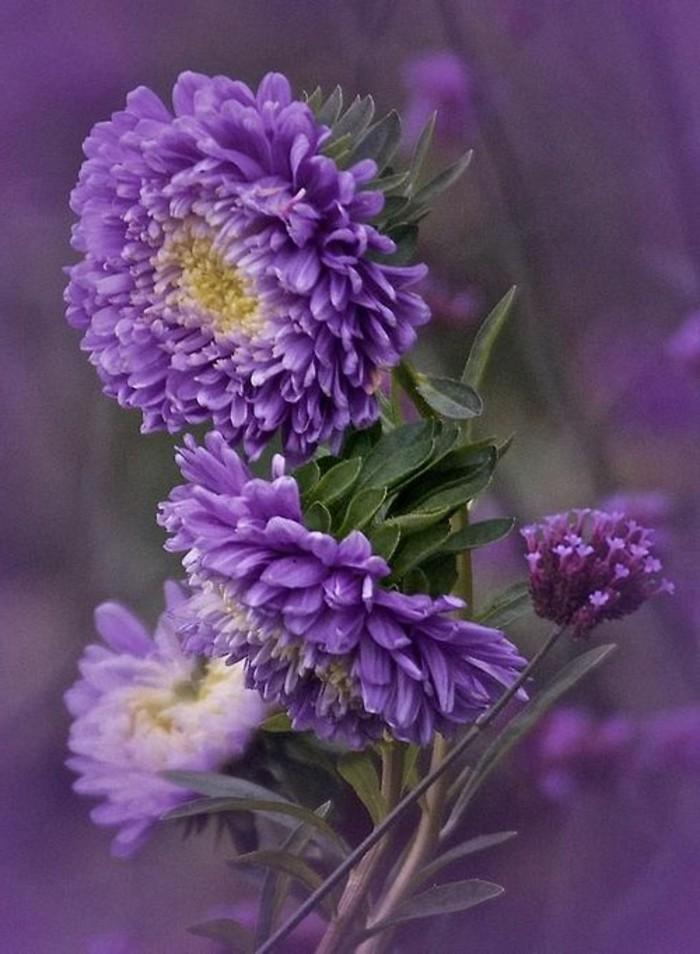 lila-Blumen-Fotos-Blumensorten-geeignet-für-den-Herbst-Strandschnecke