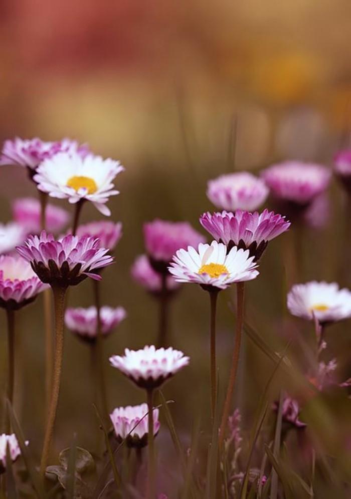 Feld-mit-Gänseblumen-in-Weiß-und-Lila