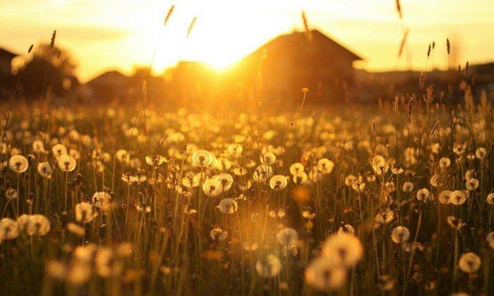 Feld-mit-Löwenzähnen-beleuchtet-von-Sonnenlicht