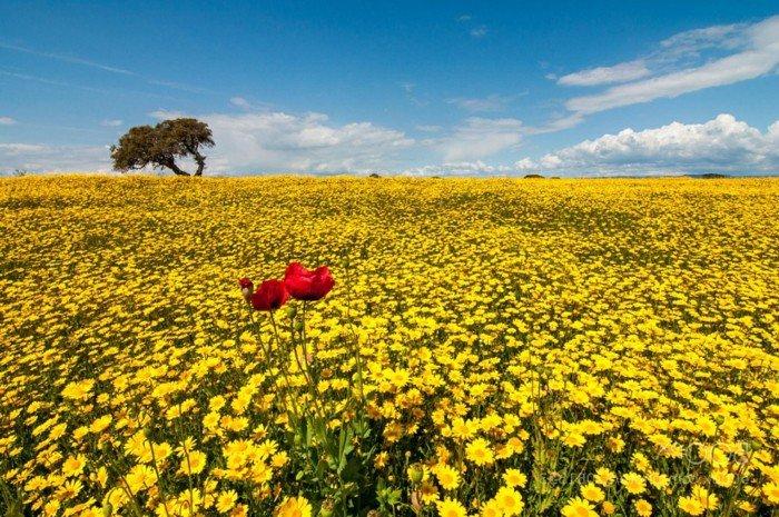 Feld-mit-gelben-Blumen-und-ein-paar-Mohnblumen-als-Akzent