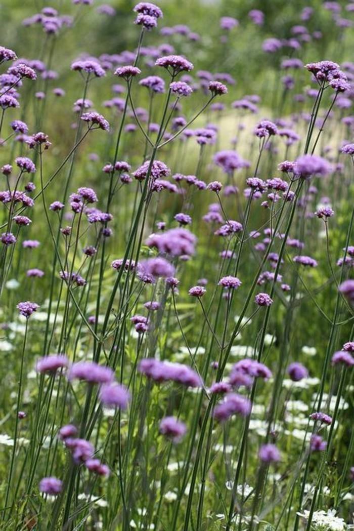 Feld-mit-lila-Verbena-Bonariensis