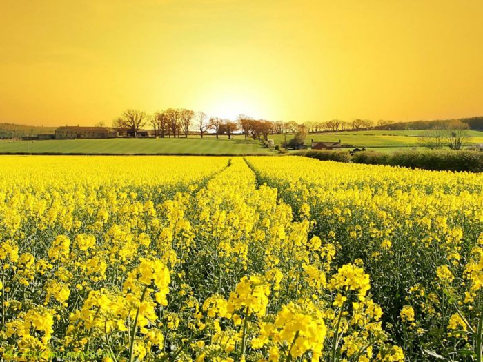 Frühlings-Bilder-Feld-mit-gelben-Blumen