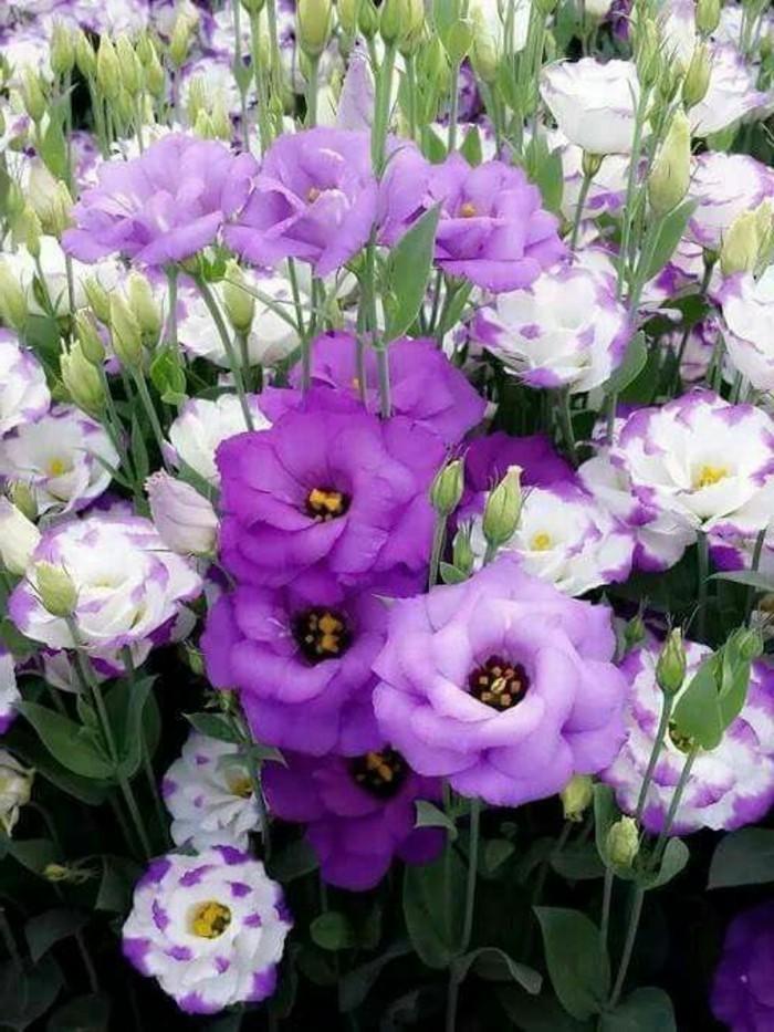Garten-voll-mit-weißen-und-lila-Blumen