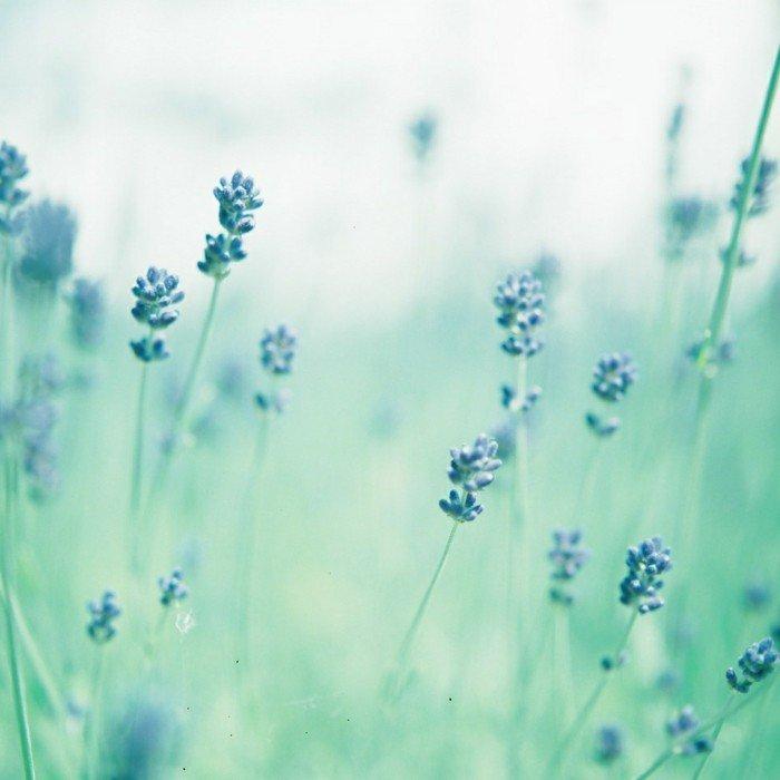 Lavendel-Stängel-in-einem-nebligen-Tag