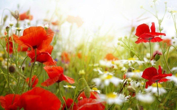 Mohnblumen-und-Gänseblümchen-begrüssen-den-Frühling