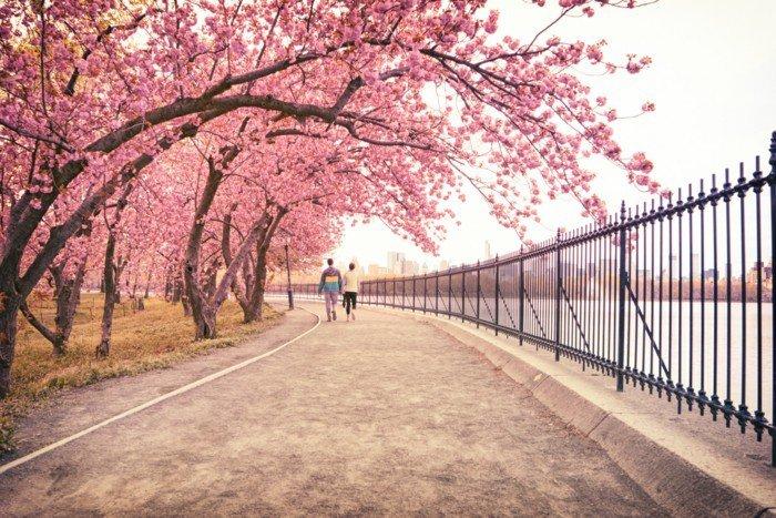 Pfad-Bäume-mit-zärtlichen-rosa-Blüten