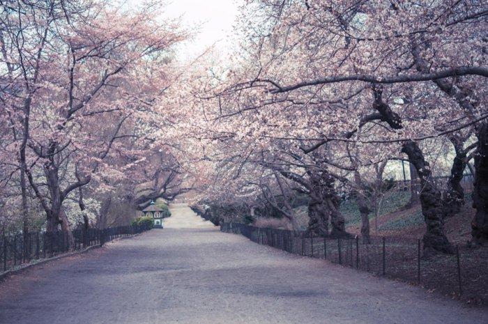 Pfad-umarmt-von-herrlichen-Blütenbäumen