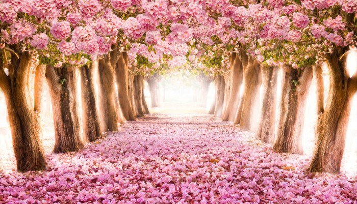 Pfad-umgeben-von-rosa-Blütenbäumen