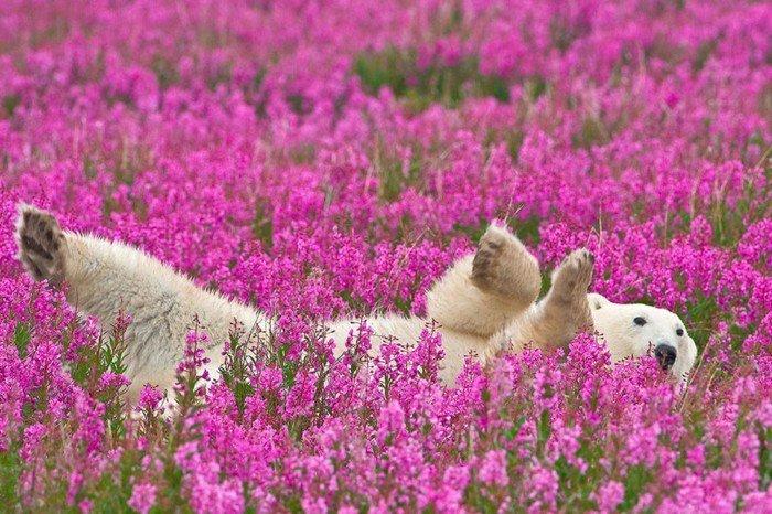 Polarbär-spielend-in-Feld-mit-lila-Blumen