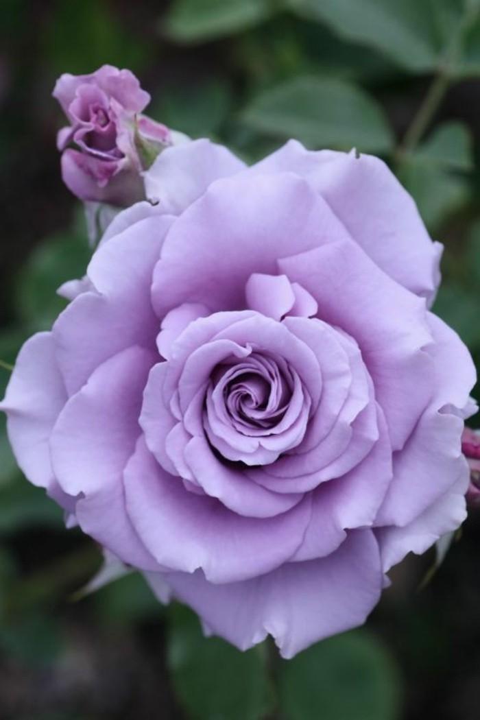 Rose-in-romantischer-lila-Farbe