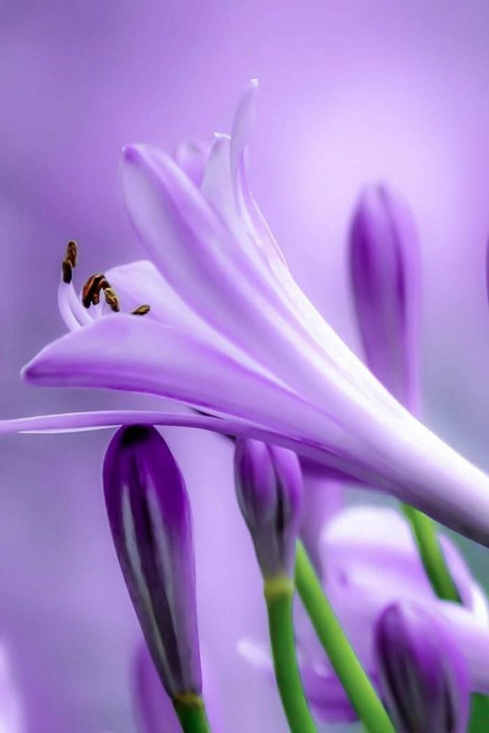 einzigartige-lila-Blume-Agapanthus-fantastisches-Foto