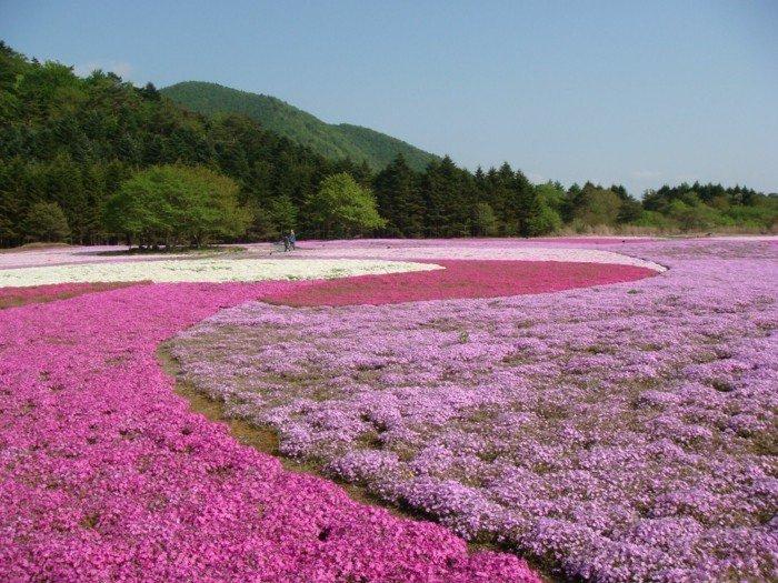 einzigartiger-Ort-Felder-mit-lila-Blumen