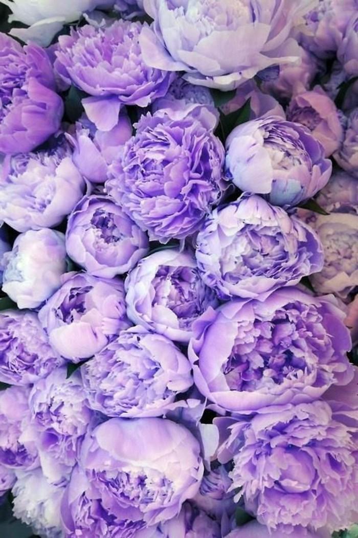 fantastische-lila-Blumen-Pfingstrosen-Frühlingsblumen