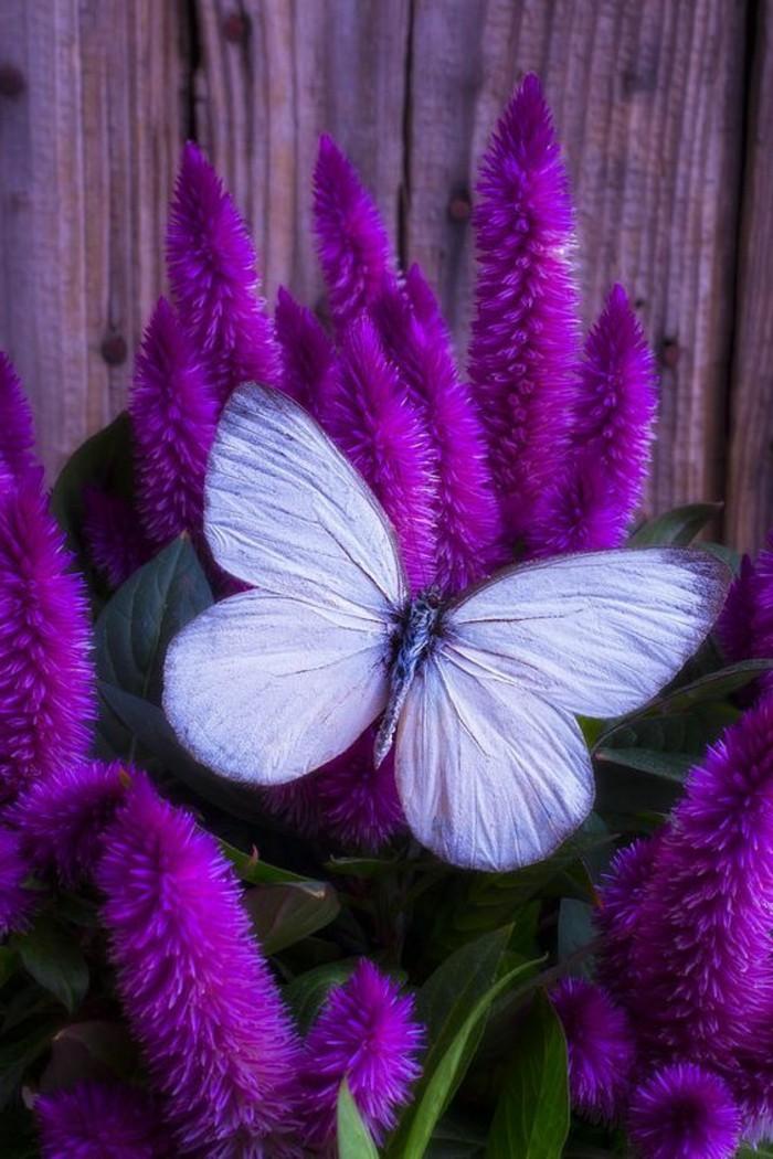 faszinierendes-Foto-von-weißem-Schmetterling-auf-blühender-lila-Celosia