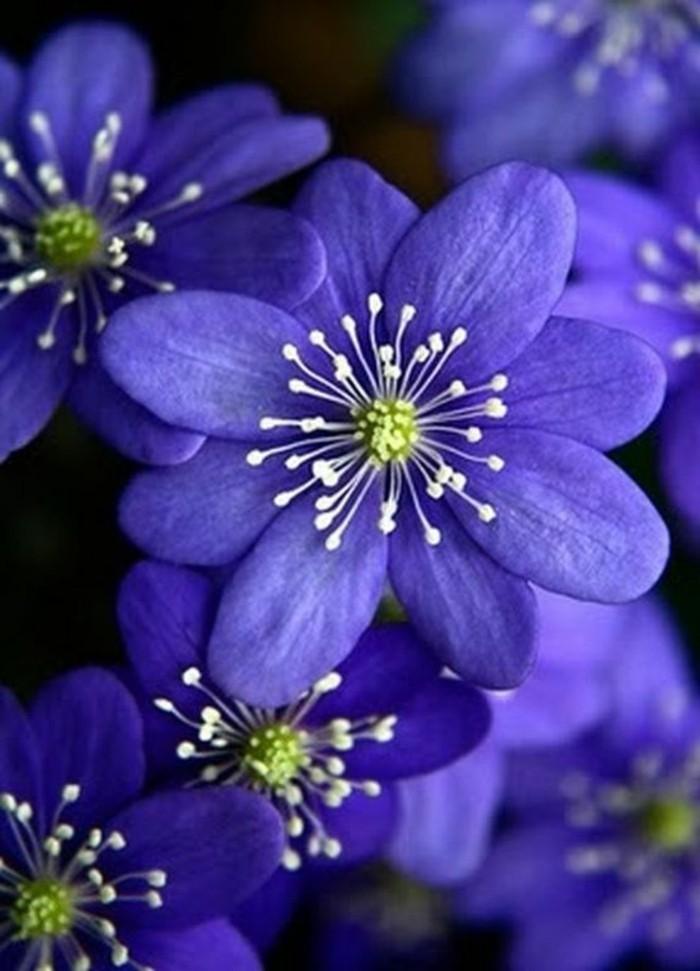 frische-Frühlingsblumen-in-lila-Farbe