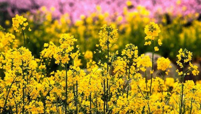 gelbe-Blumen-am-Anfang-des-Frühlings
