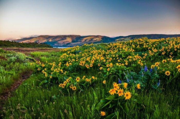 herrliches-Frühlingsbild-Feld-mit-Sonnenblumen