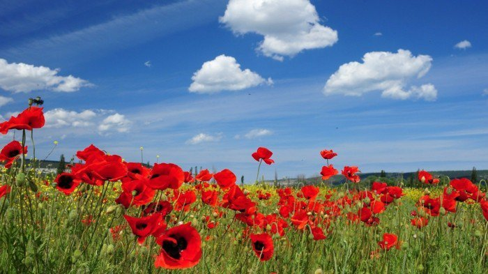 klarer-Himmel-Feld-mit-zärtlichen-Mohnblumen
