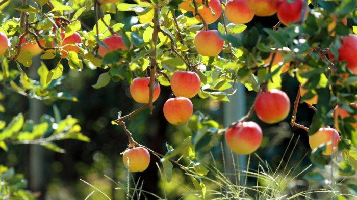 leckere-Pfirsiche-symbol-des-Frühlings