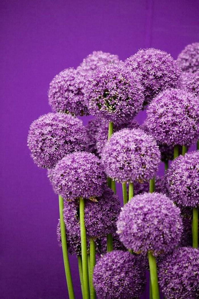 lila-Blumen-Lauch-schöne-Komposition