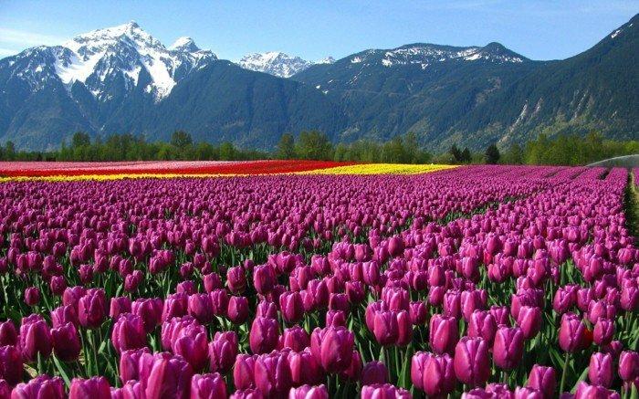 malerische-Landschaft-Gebirge-lila-Tulpen