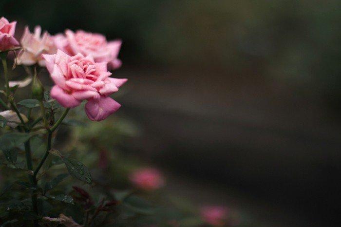 romantische-rosa-Rosen-mit-weichen-Blättern