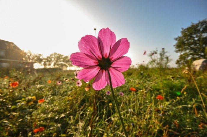 rosa-Blume-begrüsst-die-Sonne