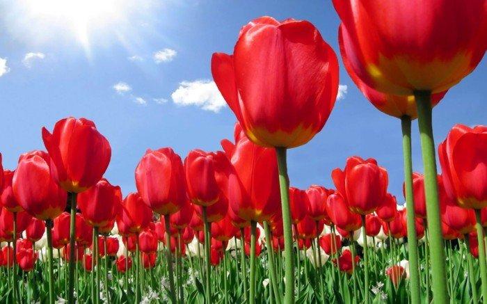 rosa-Tulpen-Feld-zum-Erstaunen