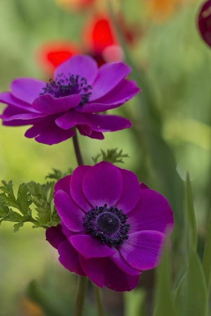 schöne-Frühlingsblumen-Bilder-lila-Anemone-im-Feld