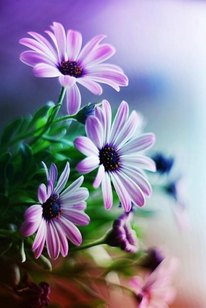 schöne-Gänseblumen-mit-lila-Blättern