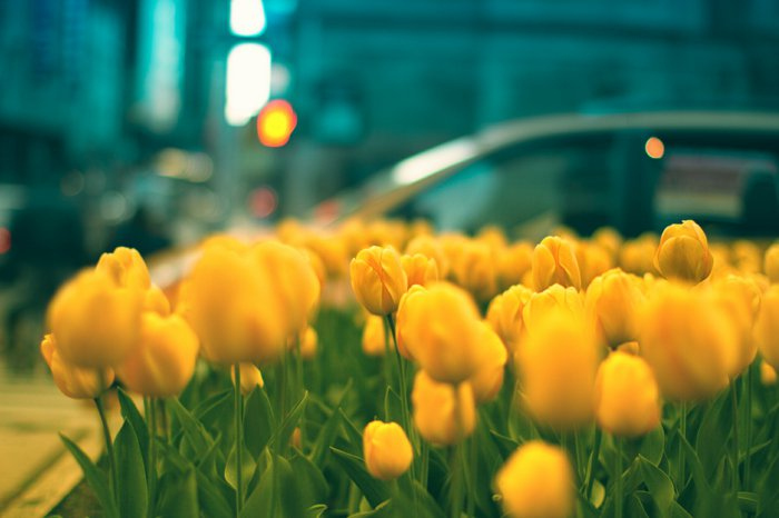 schönes-Foto-von-gelben-Tulpen