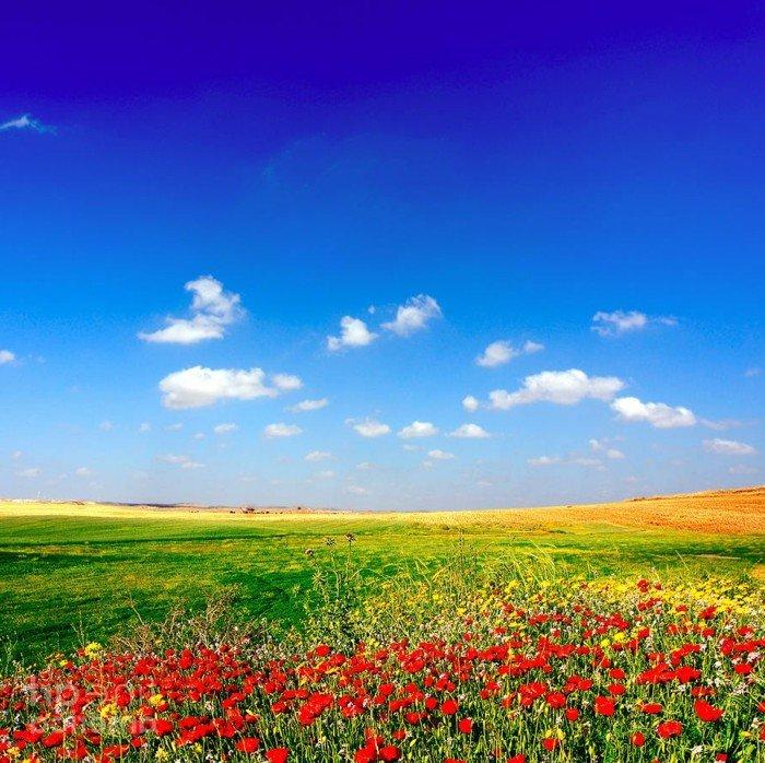 sonniges-Feld-mit-herrlichen-Mohnblumen