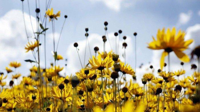 wunderschöne-Aussicht-gelbe-sonnige-Blumen