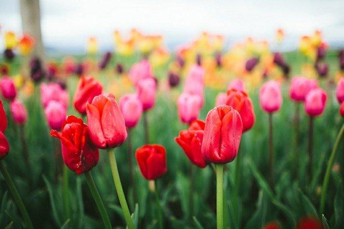 wunderschöne-Tulpen-in-allerlei-Farben