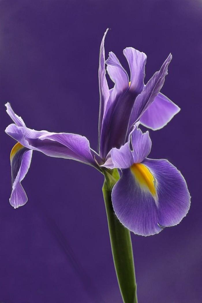 wunderschöne-lila-Blume-sibirische-Iris