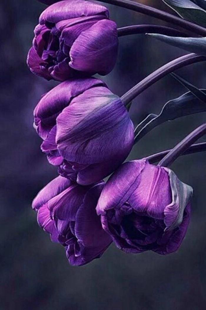 wunderschöne-lila-Tulpen-zum-Inspirieren
