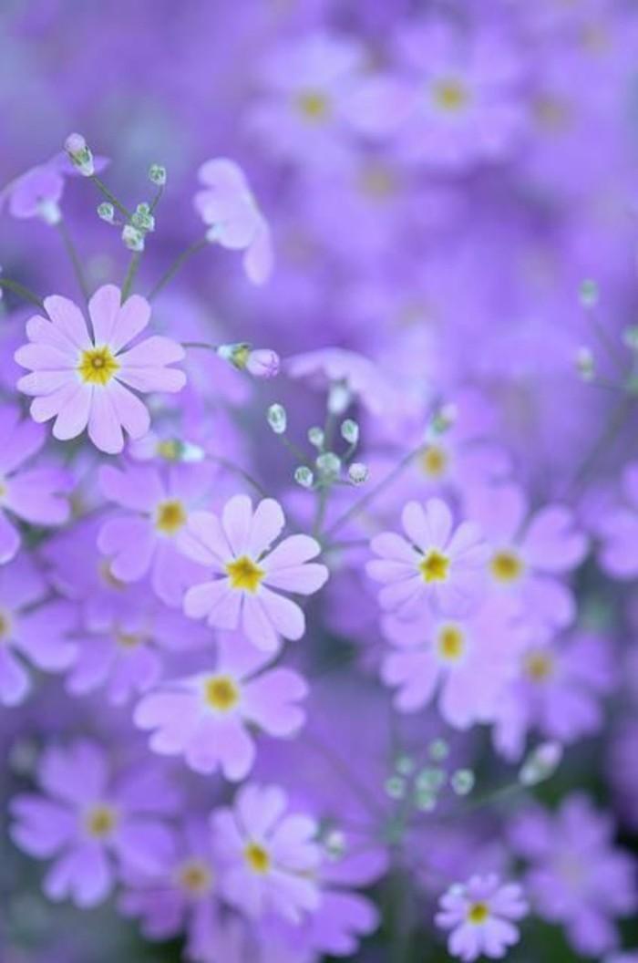 zärtliche-Blumen-in-Lila-mit-gelben-Staubblättern