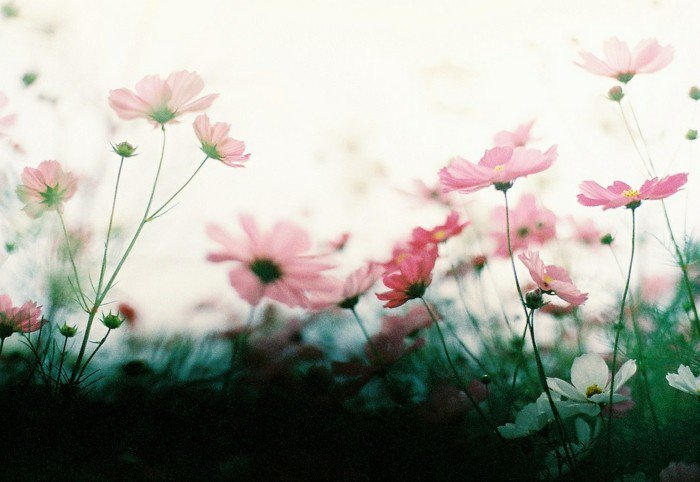 zärtliche-Blumen-in-rosa-Farbe