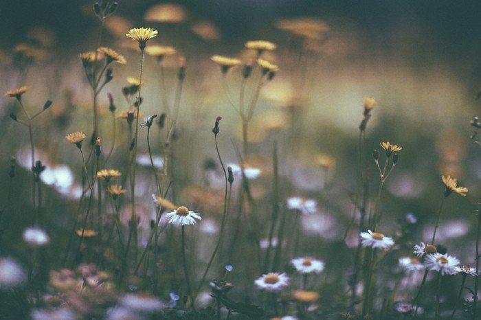 zärtliche-Gänseblümchen-oft-begegnet-im-Frühling