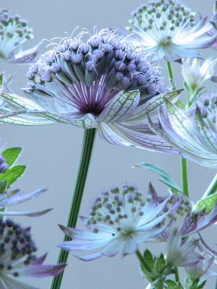 zärtliche-mysteriöse-lila-weiße-Blumen